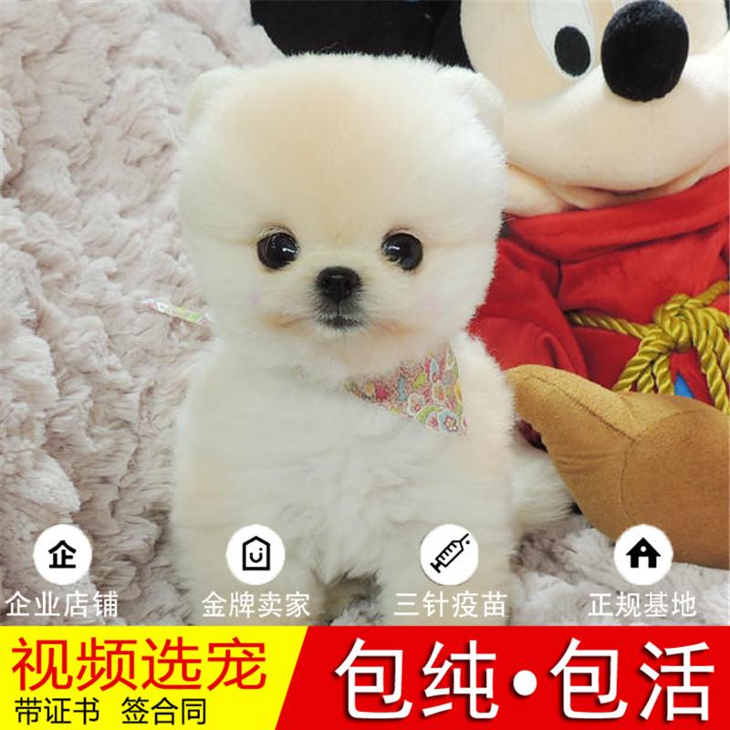 热销多只优秀的纯种博美犬幼犬质量三包完美售后9