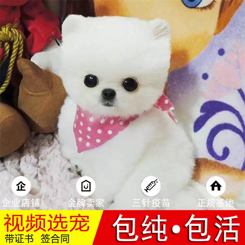 热销多只优秀的纯种博美犬幼犬质量三包完美售后10