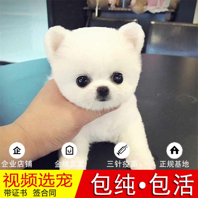 热销多只优秀的纯种博美犬幼犬质量三包完美售后11
