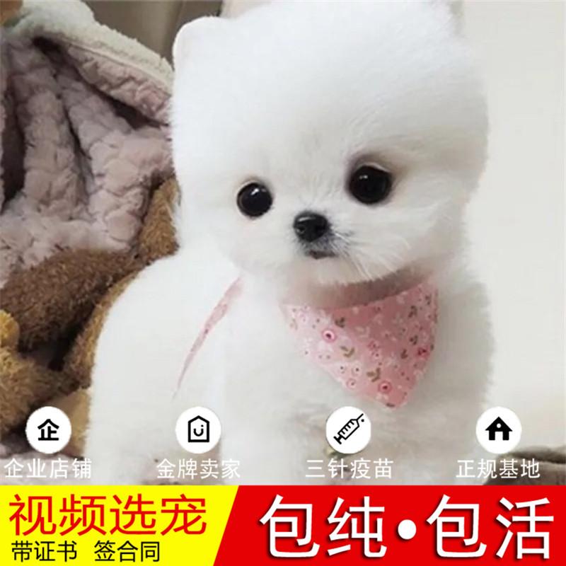 热销多只优秀的纯种博美犬幼犬质量三包完美售后12