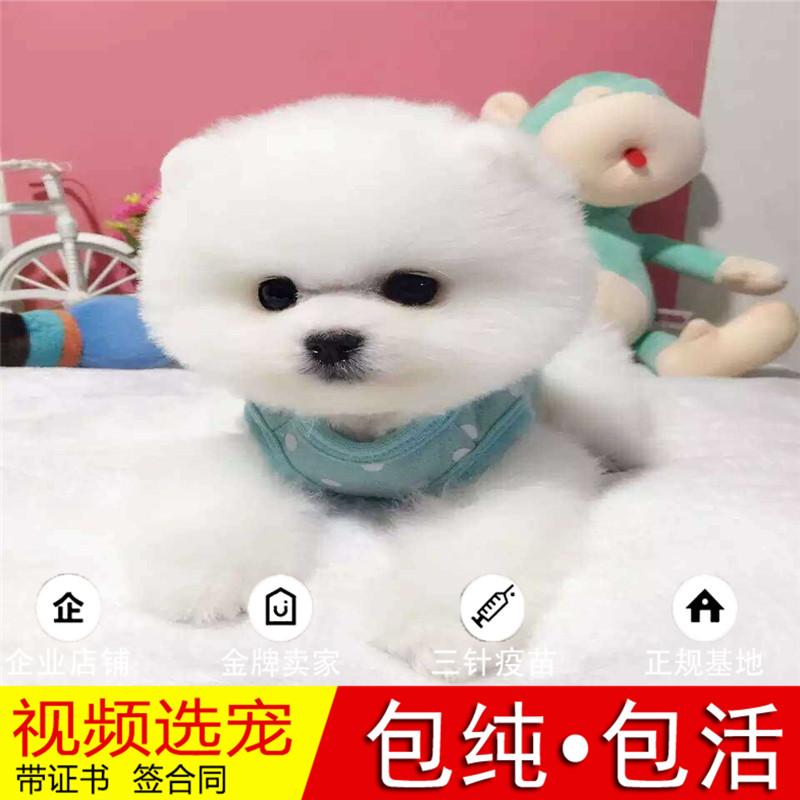 热销多只优秀的纯种博美犬幼犬质量三包完美售后14