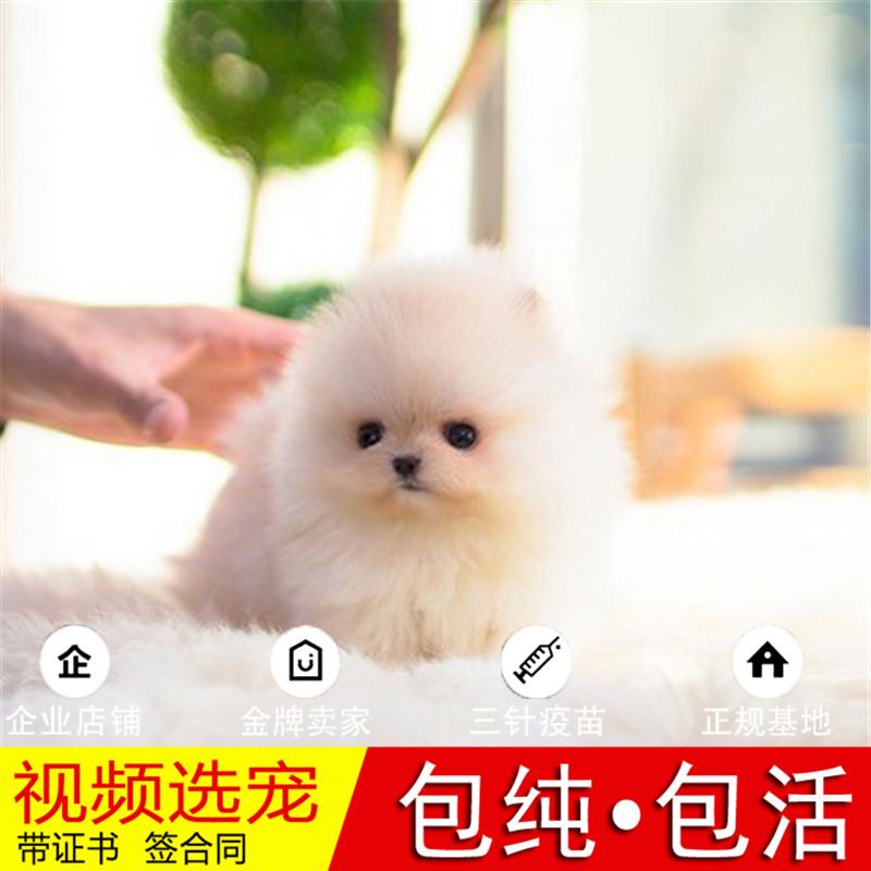 热销多只优秀的纯种博美犬幼犬质量三包完美售后15