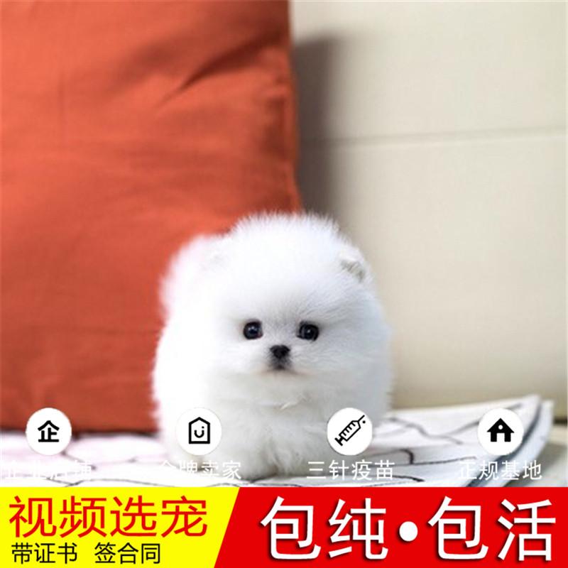 热销多只优秀的纯种博美犬幼犬质量三包完美售后16