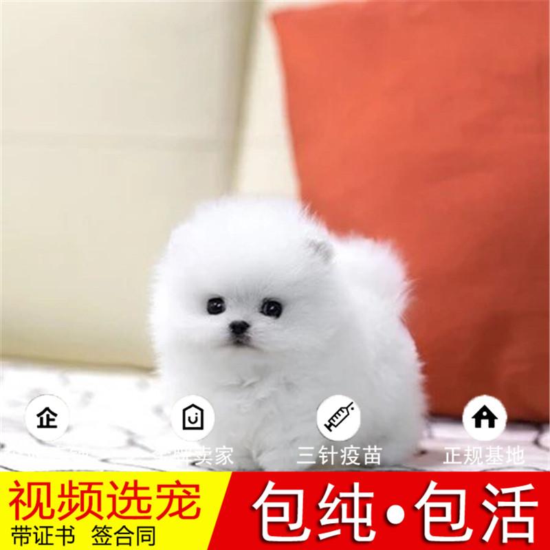 热销多只优秀的纯种博美犬幼犬质量三包完美售后17