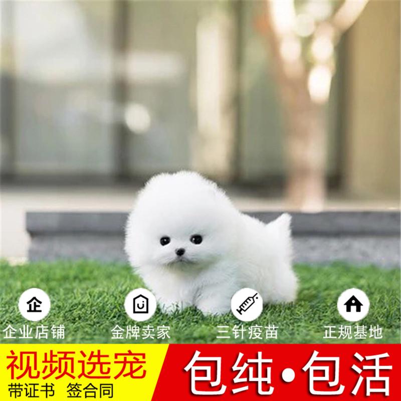 热销多只优秀的纯种博美犬幼犬质量三包完美售后18