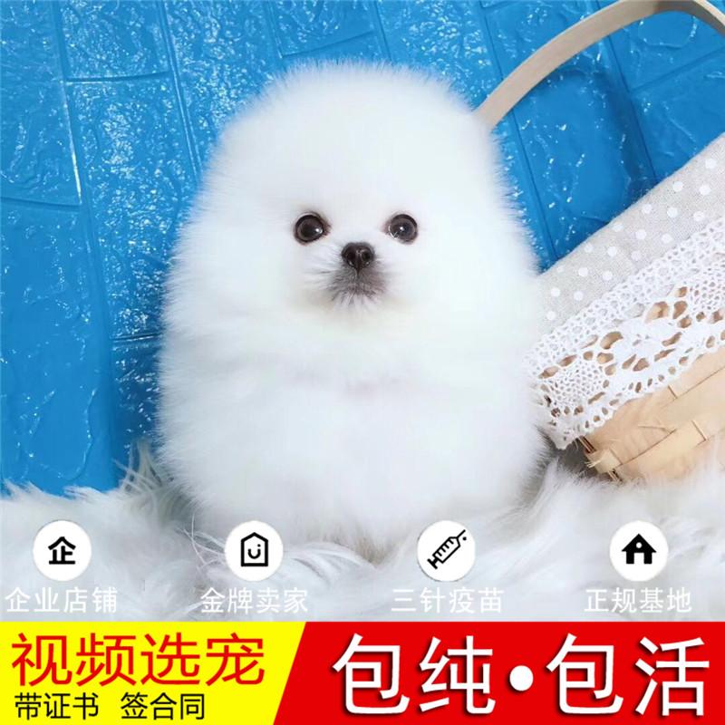 热销多只优秀的纯种博美犬幼犬质量三包完美售后19