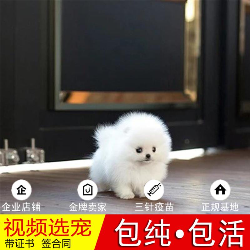 热销多只优秀的纯种博美犬幼犬质量三包完美售后20