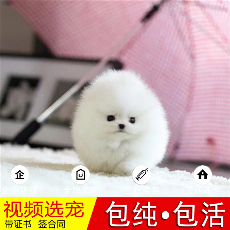 热销多只优秀的纯种博美犬幼犬质量三包完美售后21