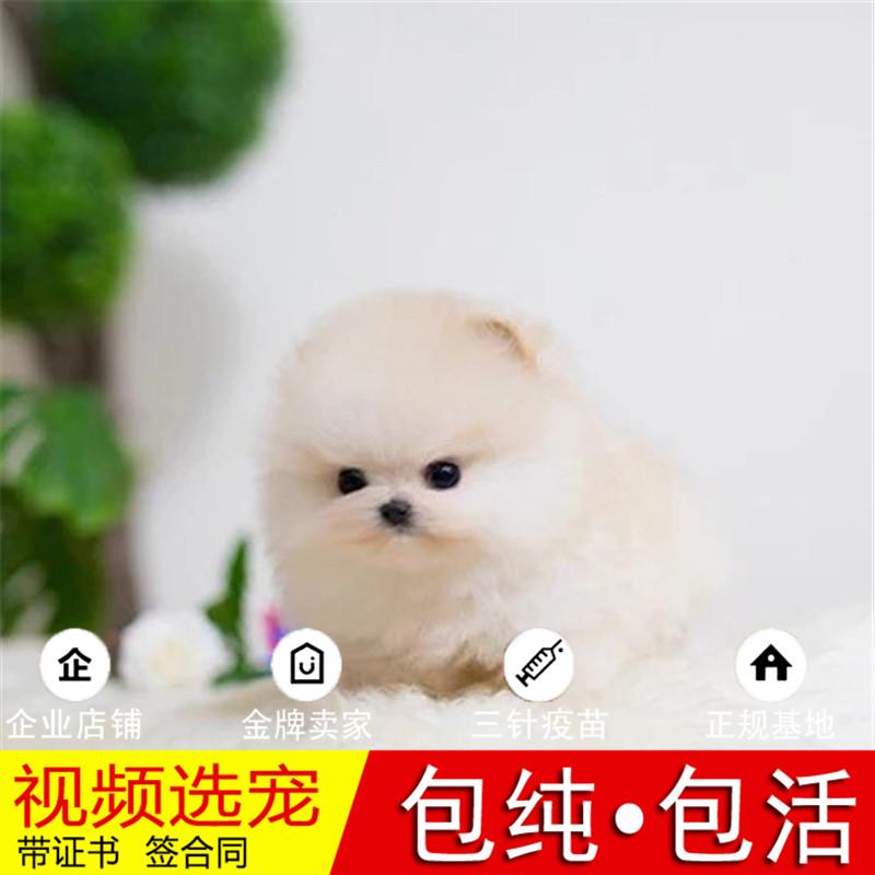 热销多只优秀的纯种博美犬幼犬质量三包完美售后22