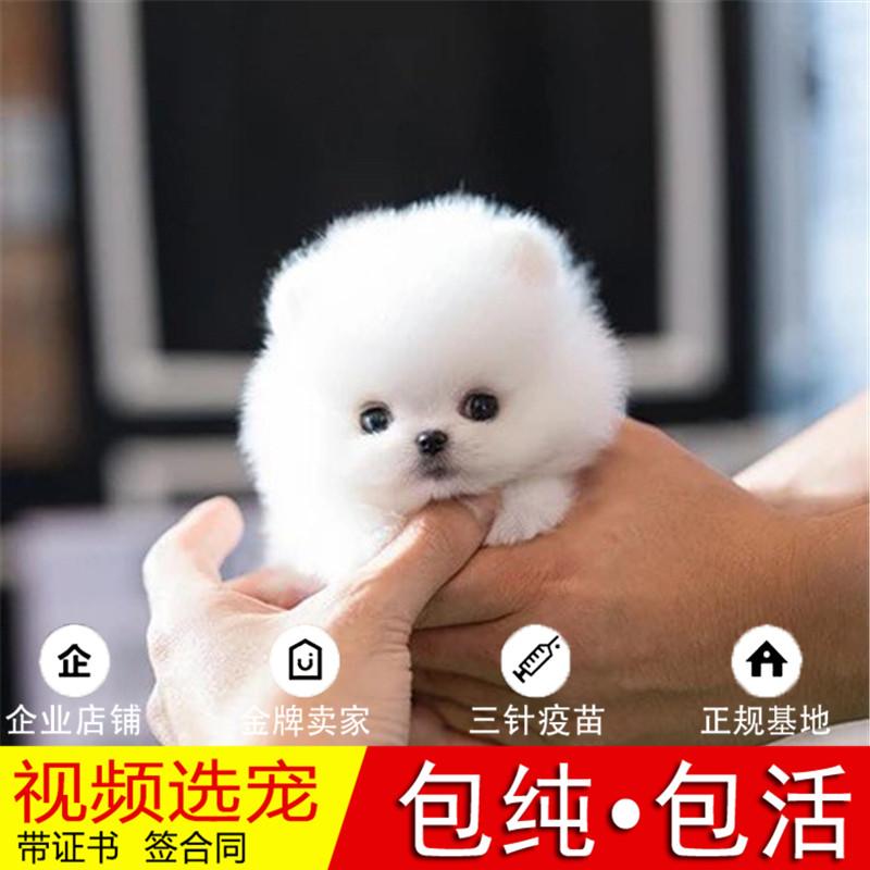 热销多只优秀的纯种博美犬幼犬质量三包完美售后23