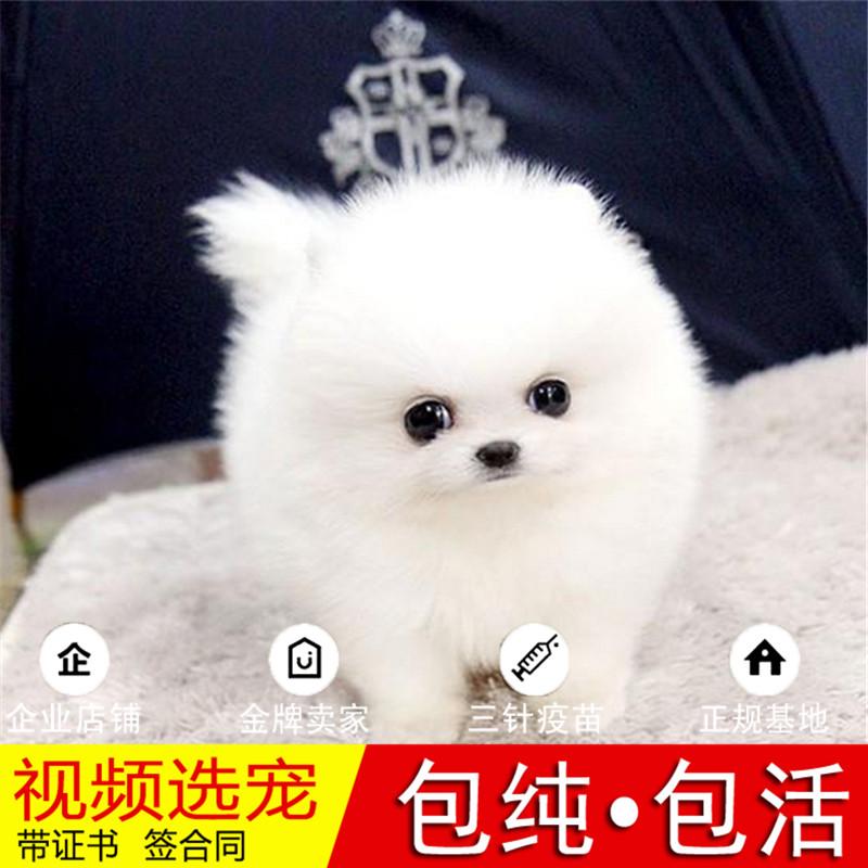 热销多只优秀的纯种博美犬幼犬质量三包完美售后24