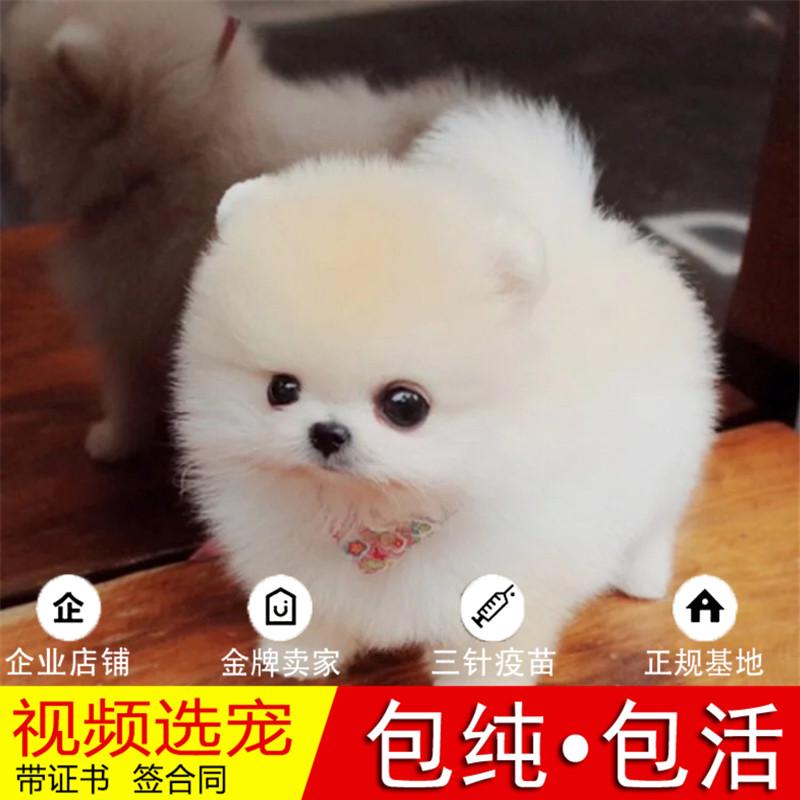 热销多只优秀的纯种博美犬幼犬质量三包完美售后25