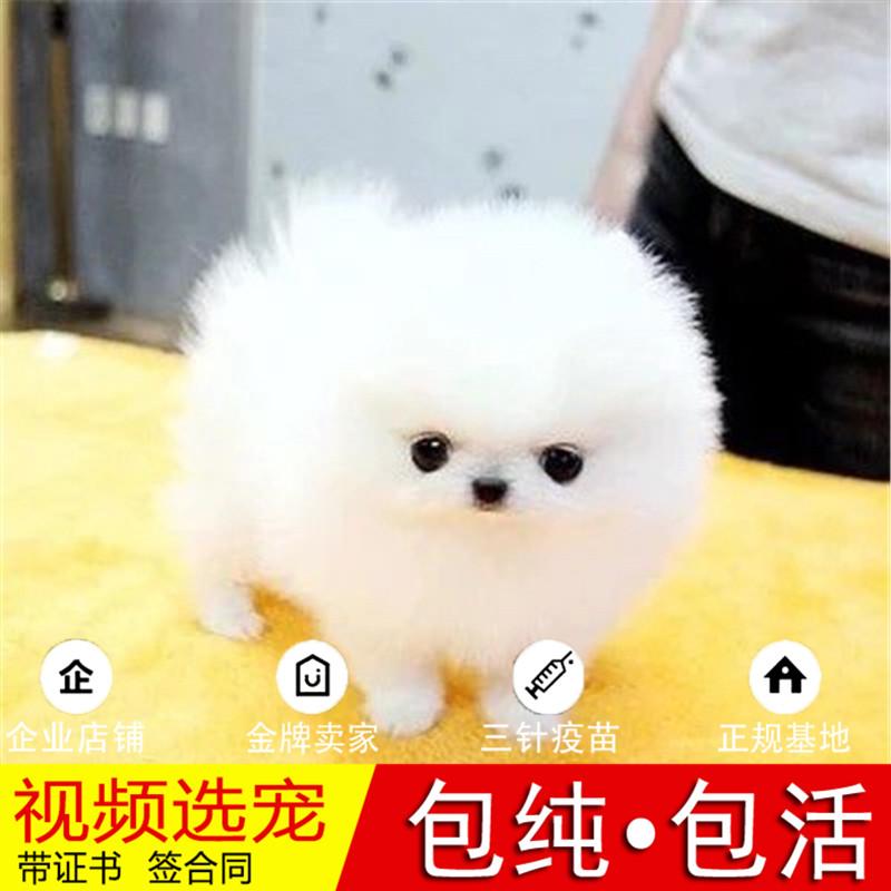 热销多只优秀的纯种博美犬幼犬质量三包完美售后26