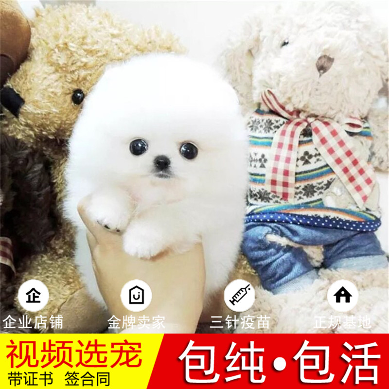 热销多只优秀的纯种博美犬幼犬质量三包完美售后27