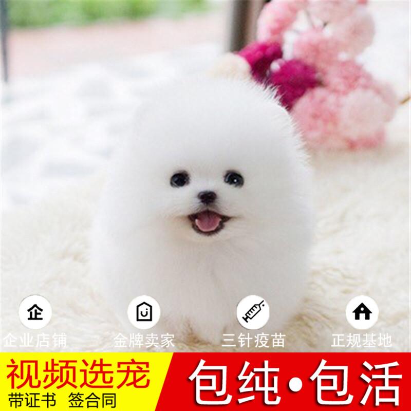 热销多只优秀的纯种博美犬幼犬质量三包完美售后28