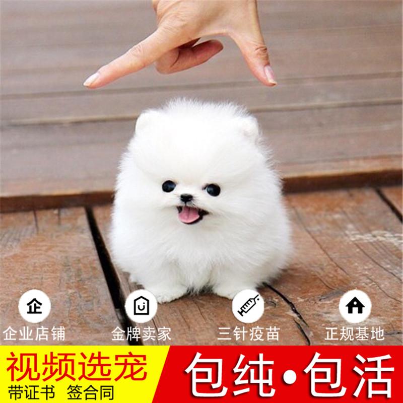 热销多只优秀的纯种博美犬幼犬质量三包完美售后29