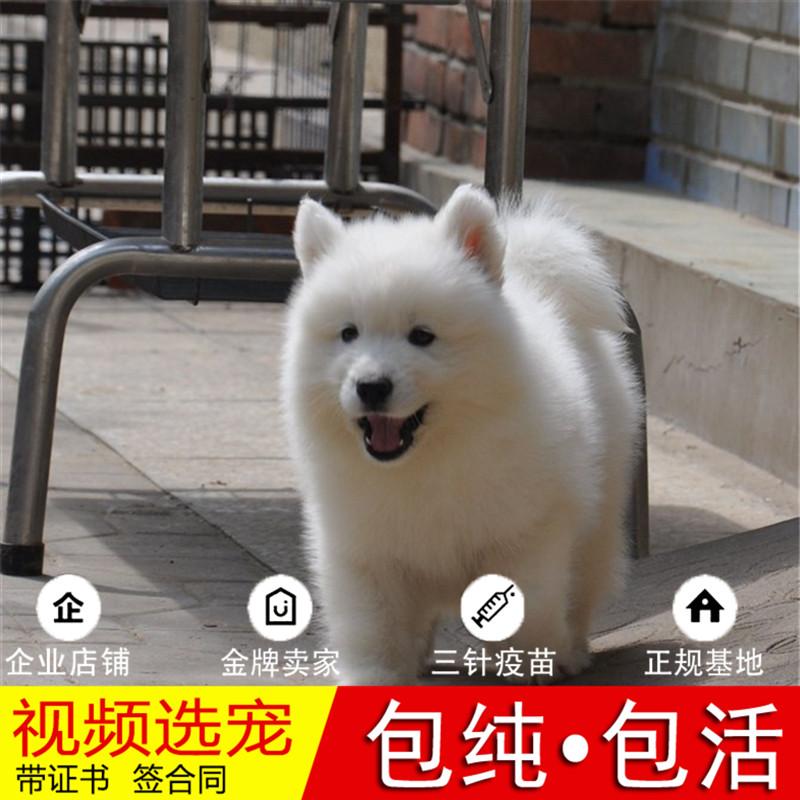 纯种萨摩耶犬幼犬活体宠物狗狗家养正宗萨摩耶真狗幼崽6
