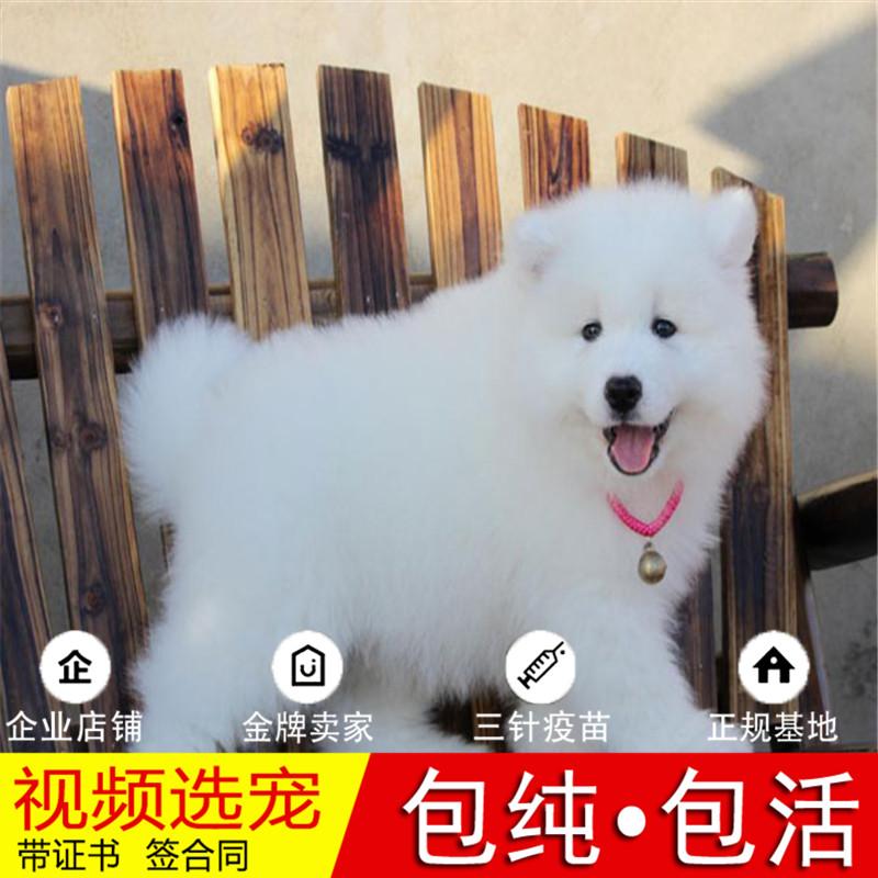 纯种萨摩耶犬幼犬活体宠物狗狗家养正宗萨摩耶真狗幼崽8