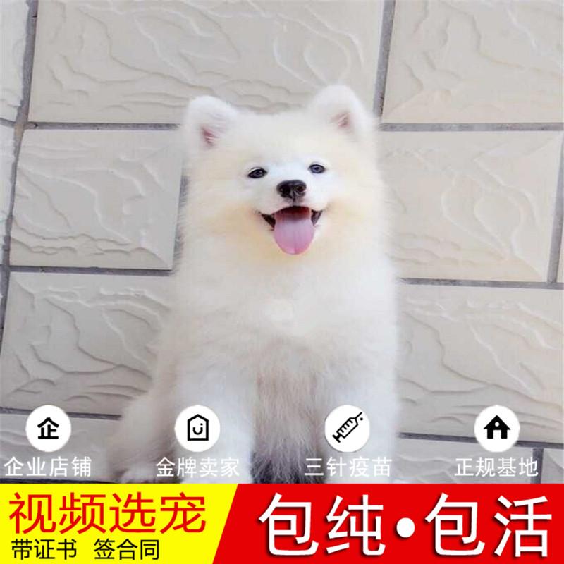 纯种萨摩耶犬幼犬活体宠物狗狗家养正宗萨摩耶真狗幼崽9