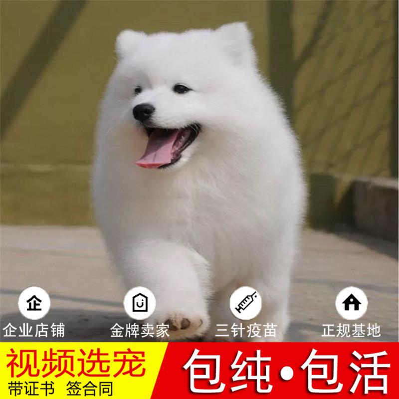 纯种萨摩耶犬幼犬活体宠物狗狗家养正宗萨摩耶真狗幼崽10