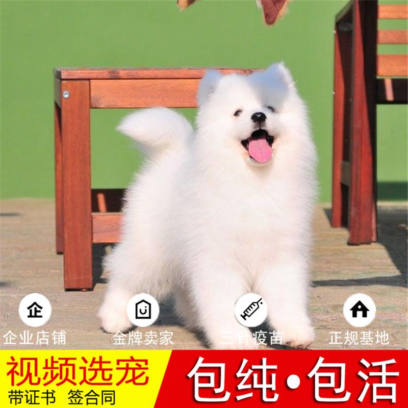 纯种萨摩耶犬幼犬活体宠物狗狗家养正宗萨摩耶真狗幼崽15