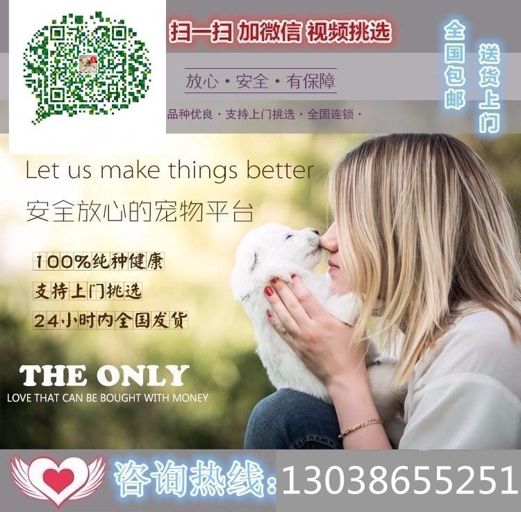 武汉犬舍直销圣伯纳犬幼犬 品相好 疫苗驱虫都已做5