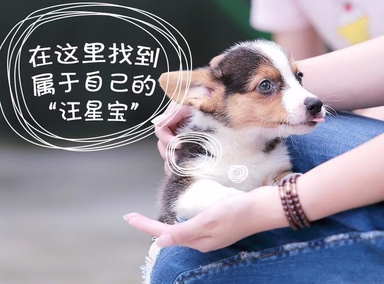 武汉犬舍直销圣伯纳犬幼犬 品相好 疫苗驱虫都已做7