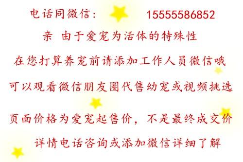 牛头梗多少钱 深圳有牛头梗繁殖地 专业繁殖更健康6
