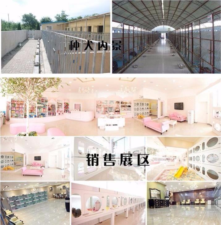 广州哪里有卖腊肠犬 腊肠犬什么价格 纯种腊肠犬9