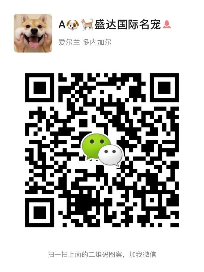 广州哪里有卖腊肠犬 腊肠犬什么价格 纯种腊肠犬14