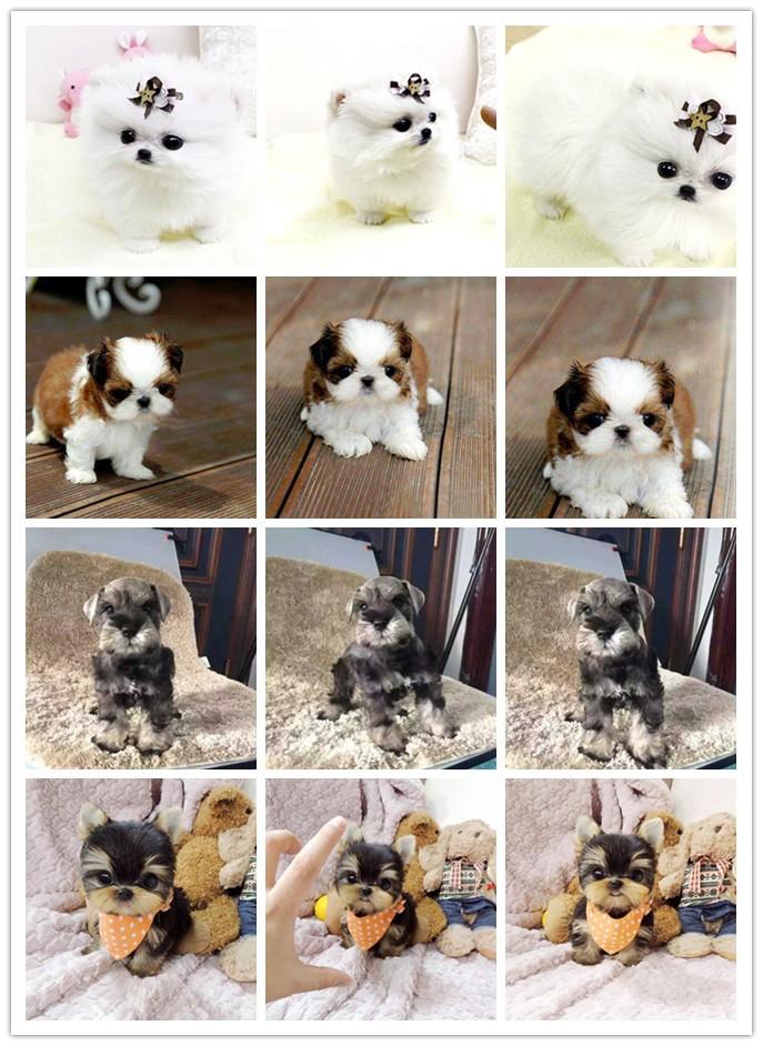精品纯种纽芬兰犬怎么卖质量三包质保协议疫苗驱虫齐全6