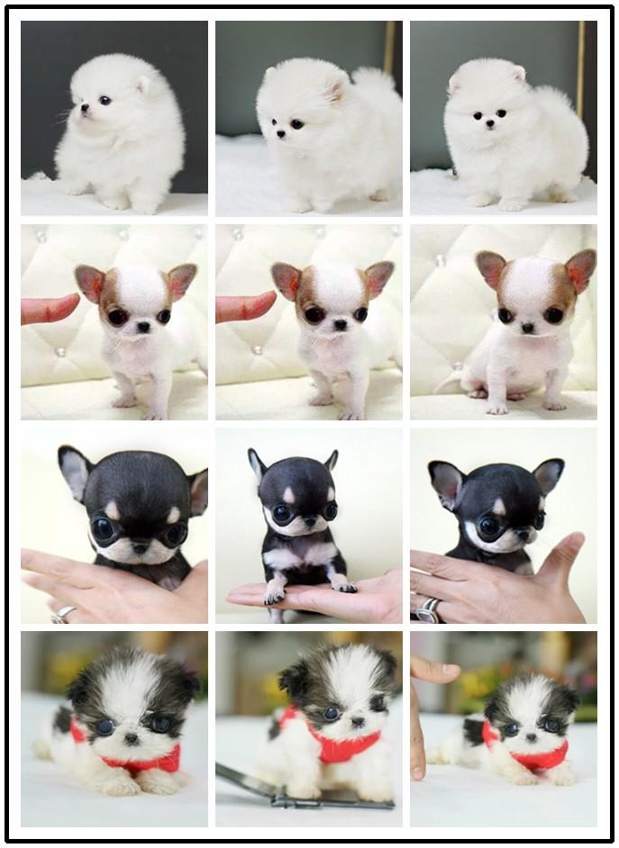 绵阳纯种日系柴犬 可视频看 疫苗驱虫均做齐 上门挑8