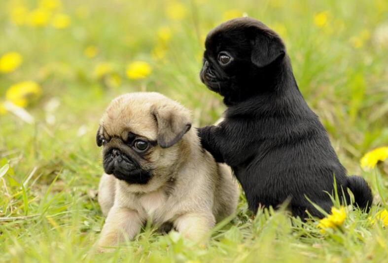 几招教你挑选一只健康巴哥犬
