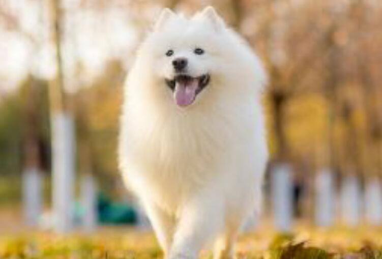 如果喜欢中大型犬,为什么不选择养一只萨摩耶呢