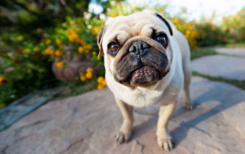 巴哥犬这么可爱,铲屎官饲养它有什么需要注意的