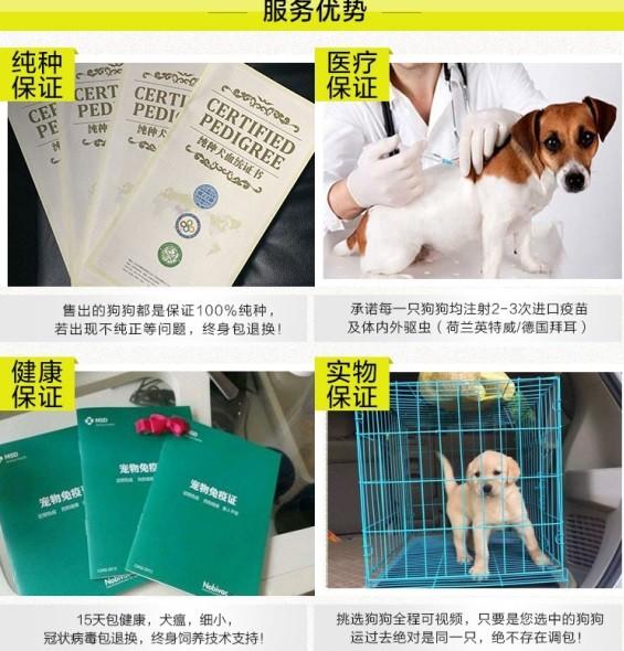郑州直销金毛幼犬 终生包纯种包健康包养活签协议7