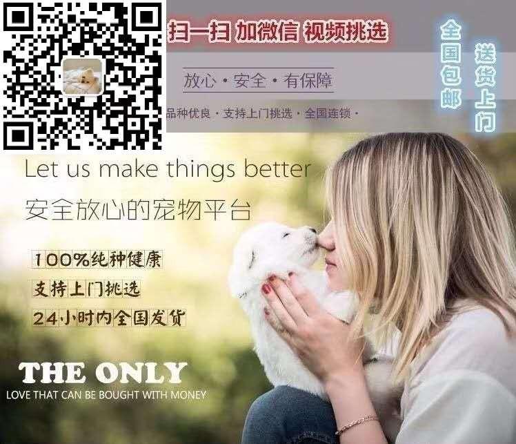 专业养狗场出售球体比熊宝宝!保纯种/健康5