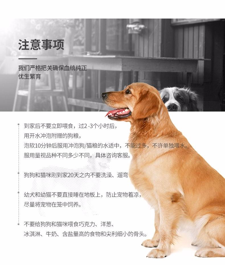 纯种赛级美国恶霸犬 纯种健康品相优良 可签保障协议12