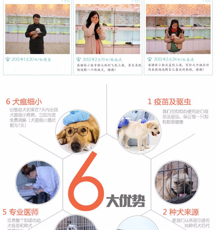 纯种赛级美国恶霸犬 纯种健康品相优良 可签保障协议11