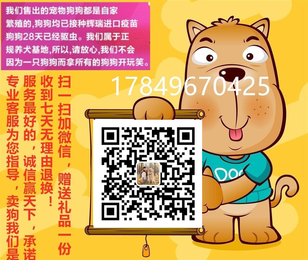 南京正规犬舍低价出售超高品质的哈士奇 多只幼犬供选5