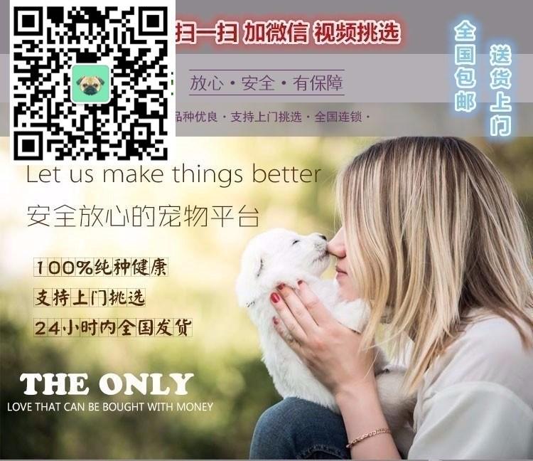 上海本地狗场出售纯种韩系贵宾犬 国外引进保证品质5