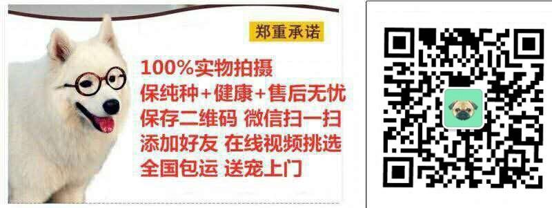上海本地狗场出售纯种韩系贵宾犬 国外引进保证品质6