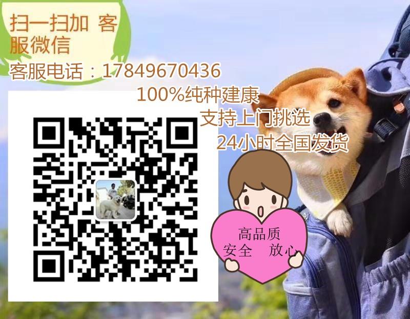 杭州出售圣伯纳幼犬。高大威猛 疫苗都已做过5