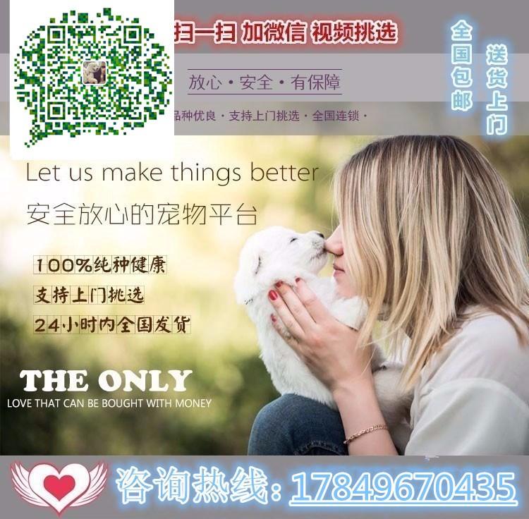 连云港出售自家繁殖赛级纯种比利时牧羊犬5