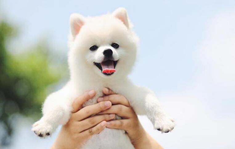 原来挑选博美犬是这么简单的,你知道吗?来看看吧
