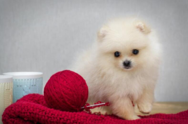 第一次养狗,养柯基还是养博美呢?你喜欢谁