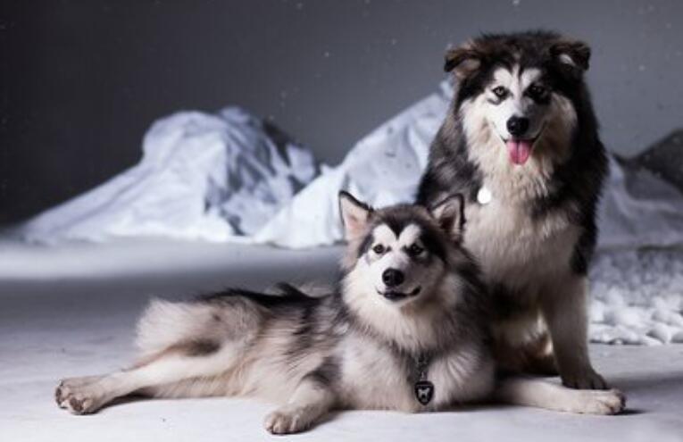 是什么原因让你果断放弃养阿拉斯加雪橇犬的呢