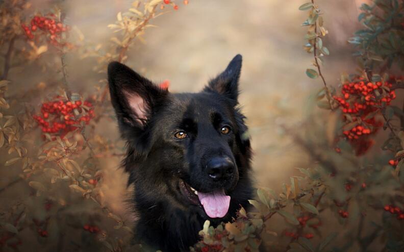 很多人都不知道原来养德国牧羊犬有这么多好处