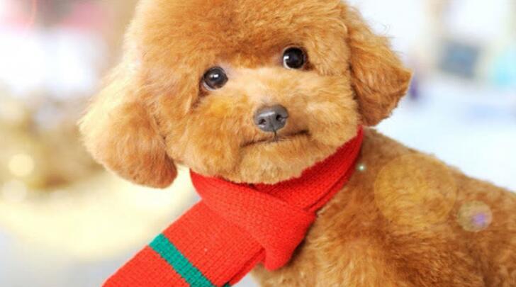 养泰迪犬需要注意什么,盘点五点养护知识