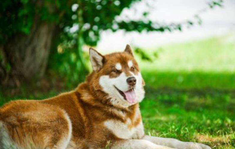 阿拉斯加雪橇犬好养吗?有什么需要注意的